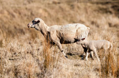 Sheep in drought Royalty Free Stock Image