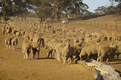 Sheep in Drought Royalty Free Stock Images