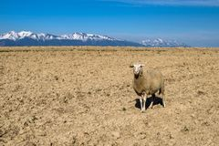 Sheep on dry soil. And mountains at background royalty free stock photography