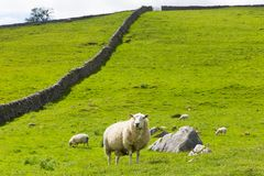 Sheep and dry stone wall in Yorkshire Dales England UK Stock Photography