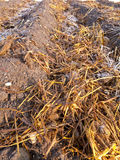 Sheep dung on vegetable garden soil with rime Royalty Free Stock Photography
