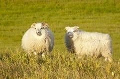 Sheep at dusk Stock Images