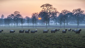 Sheep At Dusk Royalty Free Stock Image