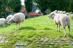 Sheep on a Dutch dike. Sheep on the dike near a small Dutch village Royalty Free Stock Images