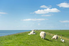 Sheep at the Dutch dike Royalty Free Stock Photos