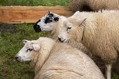 Sheep in a Dutch pasture Stock Image