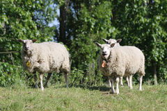 Sheep in the Dutch province of Zeeland in Holland Stock Image