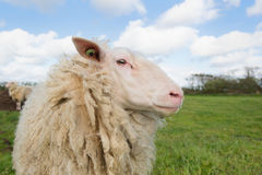 Sheep at Dutch wadden island Terschelling Royalty Free Stock Images