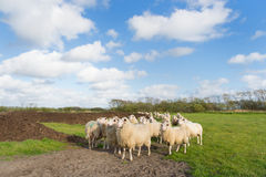 Sheep at Dutch wadden island Terschelling Stock Photos