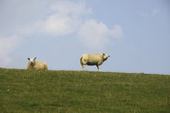 Sheep on dyke Royalty Free Stock Photography