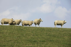 Sheep on dyke Stock Image