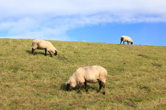 Sheep on a dyke Stock Images