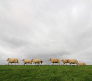 Sheep on a dyke. Sheep in a line, on grass, against a cloudy sky Stock Photography