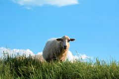 Sheep Royalty Free Stock Photo
