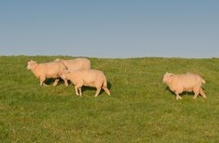 Sheep on a on the Elbe river stock photos