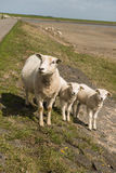 Sheep on the dyke of the island Terschelling in the Netherlands Royalty Free Stock Photo