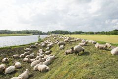Sheep on the dyke. Many sheep on the Dutch dyke Royalty Free Stock Image