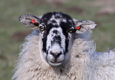 Sheep with ear tags. Closeup of sheep's head showing ear tags royalty free stock images