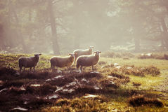 Sheep in the early morning light Stock Images