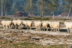 Sheep in the early morning light Stock Photos