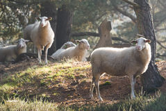 Sheep in the early morning light Royalty Free Stock Photography