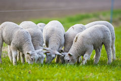 Sheep in the early morning light Royalty Free Stock Images