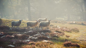 Sheep in the early morning light Royalty Free Stock Image
