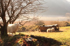 Sheep early morning misty lake dawn Stock Image