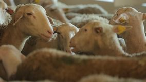 Sheep eat foodder stock video