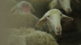 Sheep eat foodder stock footage