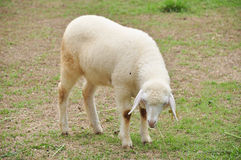 Sheep is during eat grass Stock Photos