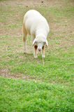 Sheep is during eat grass Royalty Free Stock Photo