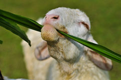 The sheep eat  grass Stock Photo