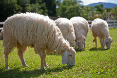 Sheep. Eat grass , , animal, cute, farm, field, grass, green, landscape, nature, outdoors, scenery, white, brown , wool Royalty Free Stock Photo