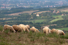 The sheep eat grass Royalty Free Stock Photography