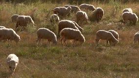 Sheep eat grass. stock video
