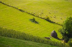 Sheep. The sheep eat grass on the mountain pasture Stock Images