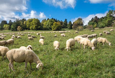 Sheep eat in a meadow Royalty Free Stock Image