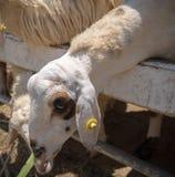 Sheep eat. Some grass at fram stock photos
