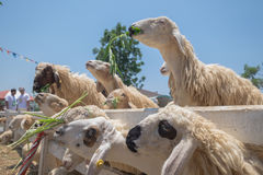 Sheep eat. Some thing their like stock photography