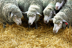 Sheep eat straw Royalty Free Stock Images
