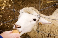 Sheep Eating. Wooly sheep eating ice cream cone through fence Stock Image