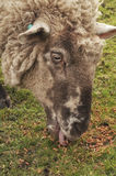 Sheep eating Royalty Free Stock Images