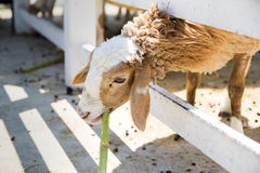 Sheep eating at the cage. Sheep eating some plant at the cage Stock Images