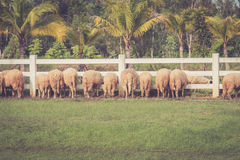 Sheep eating royalty free stock photography