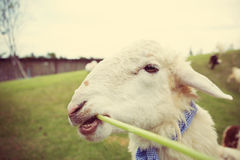 Sheep eating in the farm Stock Images