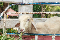Sheep eating feed in countryside farm Stock Photography