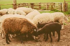 Sheep are eating Royalty Free Stock Photography