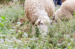 Sheep eating flower grass in the field Stock Photos
