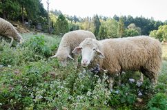 Sheep eating flower grass Stock Photo